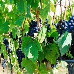 P2V_day2_grapes_1600x670