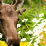 18AK-Flower-Moose-1600x670